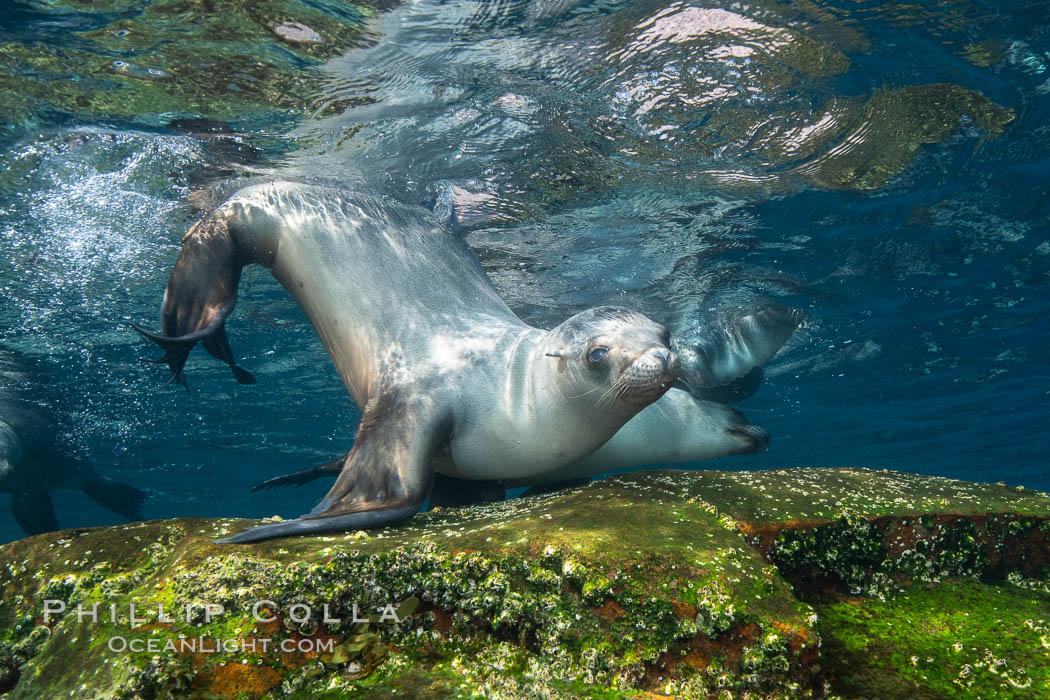 California sea lion, Coronados Islands, Baja California, Mexico. Coronado Islands (Islas Coronado), Coronado Islands, Baja California, Mexico, Zalophus californianus, natural history stock photograph, photo id 34591