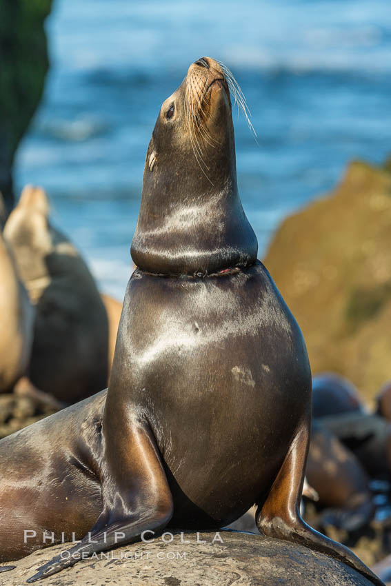 California sea lion entangled in fishing line, La Jolla. La Jolla, California, USA, Zalophus californianus, natural history stock photograph, photo id 34278