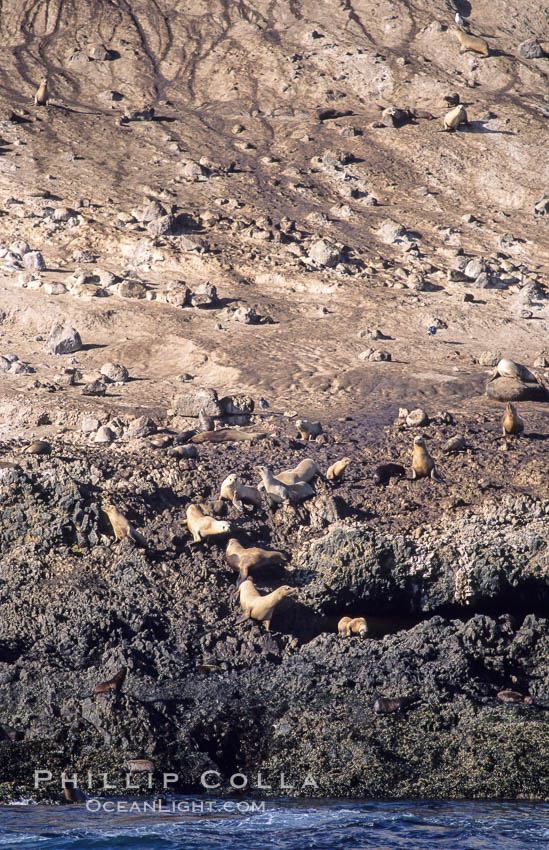 Webster Point sea lion rookery, Santa Barbara Island, Channel Islands National Marine Sanctuary. California, USA, Zalophus californianus, natural history stock photograph, photo id 06282