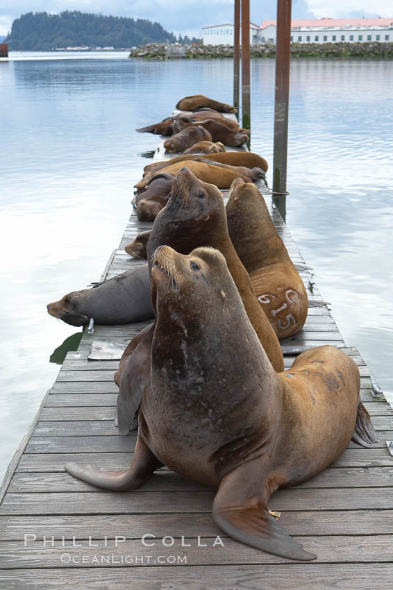 Sea lions hauled out on public docks in Astoria's East Mooring Basin.  This bachelor colony of adult males takes up residence for several weeks in late summer on public docks in Astoria after having fed upon migrating salmon in the Columbia River.  The sea lions can damage or even sink docks and some critics feel that they cost the city money in the form of lost dock fees. Oregon, USA, Zalophus californianus, natural history stock photograph, photo id 19422