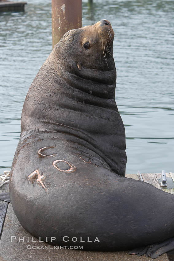 """A bull sea lion shows a brand burned into its hide by the Oregon Department of Fish and Wildlife, to monitor it from season to season as it travels between California, Oregon and Washington.  Some California sea lions, such as this one C-704, prey upon migrating salmon that gather in the downstream waters and fish ladders of Bonneville Dam on the Columbia River.  The """"C"""" in its brand denotes Columbia River. These  sea lions also form bachelor colonies that haul out on public docks in Astoria's East Mooring Basin and elsewhere, where they can damage or even sink docks. Columbia River, Astoria, Oregon, USA, Zalophus californianus, natural history stock photograph, photo id 19430"""