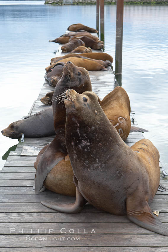 Sea lions hauled out on public docks in Astoria's East Mooring Basin.  This bachelor colony of adult males takes up residence for several weeks in late summer on public docks in Astoria after having fed upon migrating salmon in the Columbia River.  The sea lions can damage or even sink docks and some critics feel that they cost the city money in the form of lost dock fees. Oregon, USA, Zalophus californianus, natural history stock photograph, photo id 19442