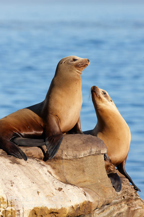California sea lions, hauled out on rocks beside the ocean, resting in the sun. La Jolla, USA, Zalophus californianus, natural history stock photograph, photo id 22278