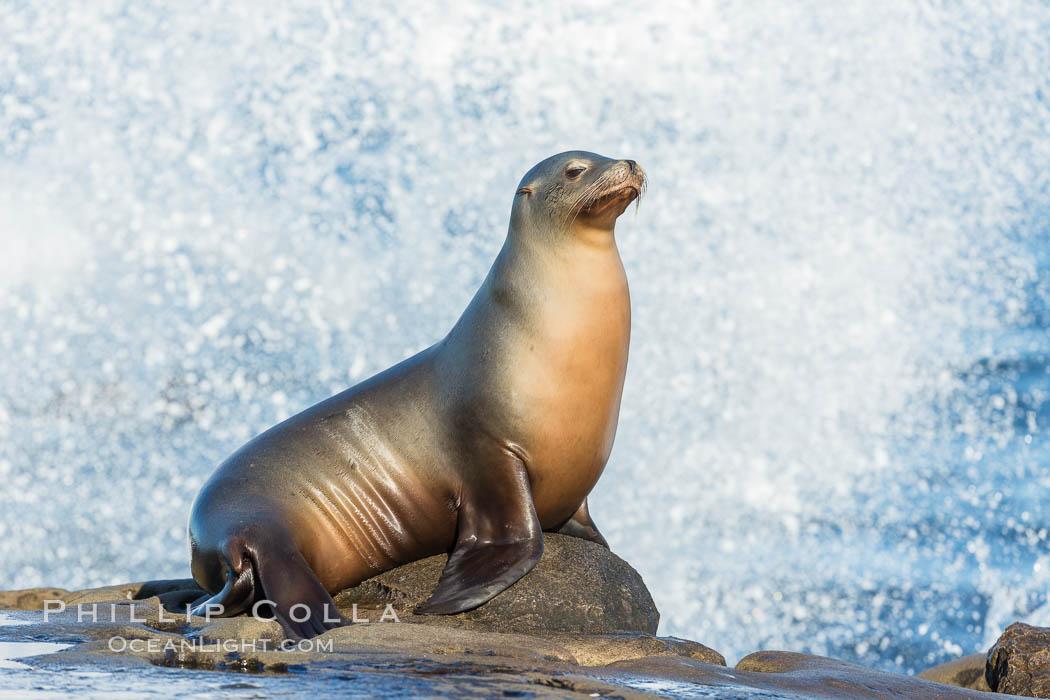 California sea lion, La Jolla. La Jolla, California, USA, Zalophus californianus, natural history stock photograph, photo id 34272