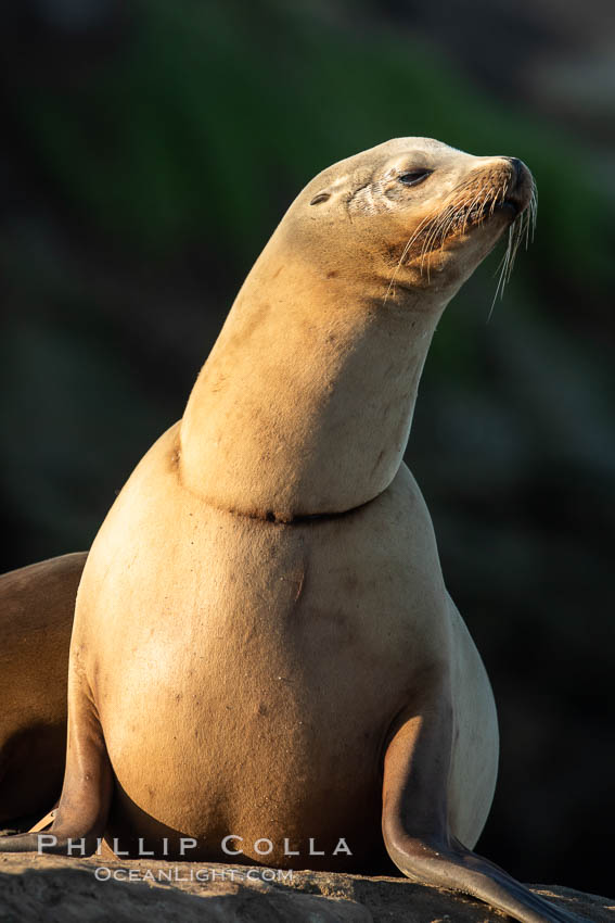California sea lion wounded from entanglement in fishing line, La Jolla. USA, Zalophus californianus, natural history stock photograph, photo id 35161