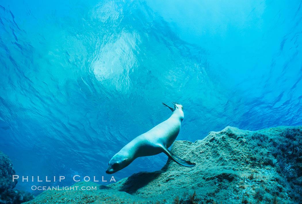 California sea lion. Guadalupe Island (Isla Guadalupe), Baja California, Mexico, Zalophus californianus, natural history stock photograph, photo id 00260