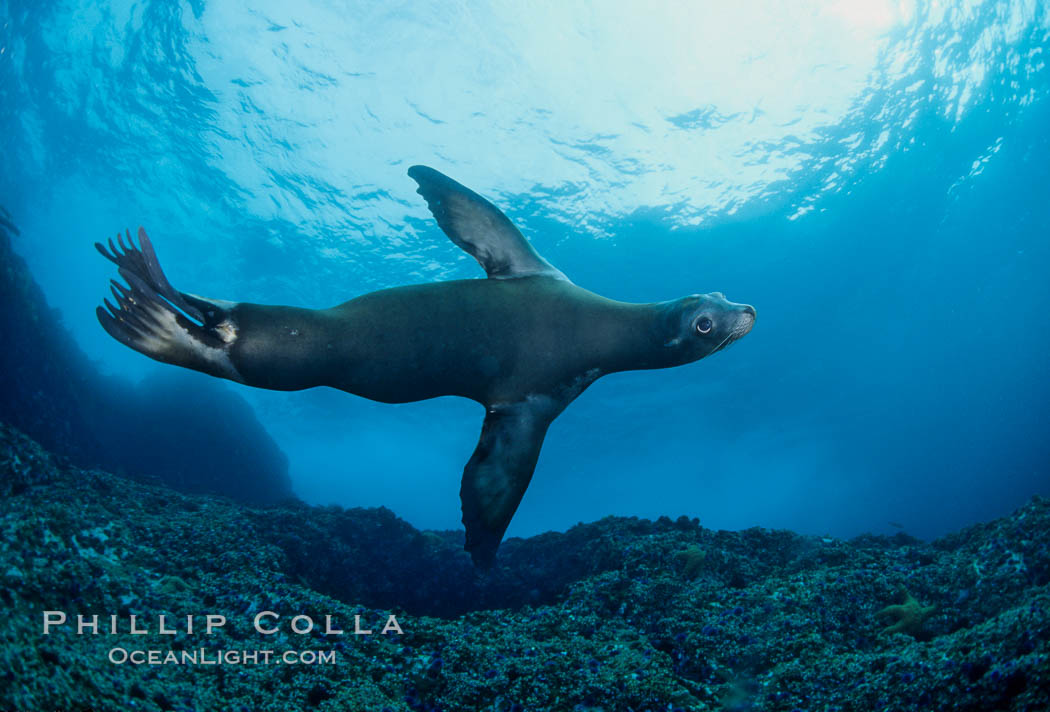California sea lion, Coronado Islands. Coronado Islands (Islas Coronado), Baja California, Mexico, Zalophus californianus, natural history stock photograph, photo id 01923