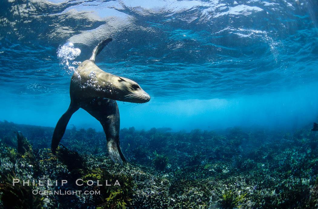 California sea lion. Coronado Islands (Islas Coronado), Coronado Islands, Baja California, Mexico, Zalophus californianus, natural history stock photograph, photo id 02943