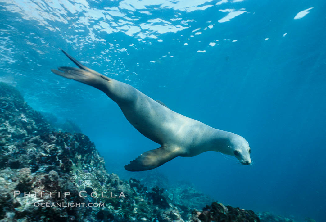 California sea lion, Coronado Islands. Coronado Islands (Islas Coronado), Baja California, Mexico, Zalophus californianus, natural history stock photograph, photo id 02949