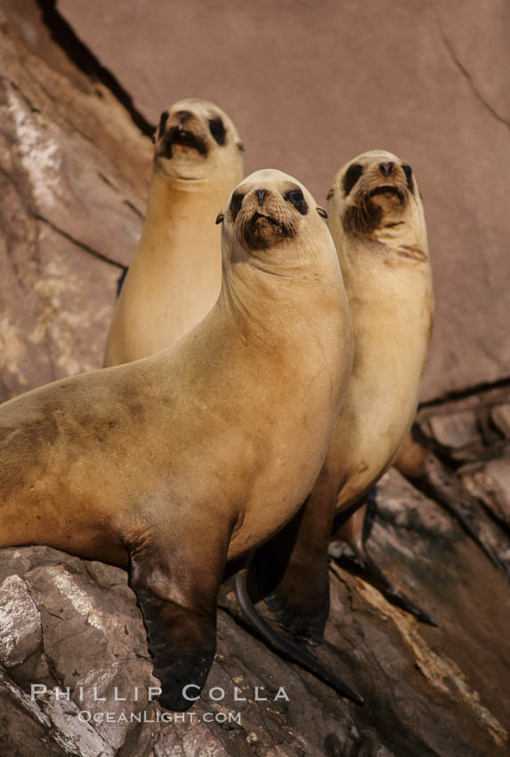 California sea lion, Coronado Islands. Coronado Islands (Islas Coronado), Coronado Islands, Baja California, Mexico, Zalophus californianus, natural history stock photograph, photo id 02920