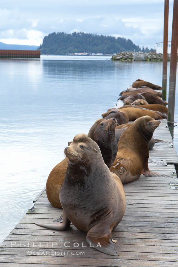 Sea lions hauled out on public docks in Astoria's East Mooring Basin.  This bachelor colony of adult males takes up residence for several weeks in late summer on public docks in Astoria after having fed upon migrating salmon in the Columbia River.  The sea lions can damage or even sink docks and some critics feel that they cost the city money in the form of lost dock fees. Oregon, USA, Zalophus californianus, natural history stock photograph, photo id 19437