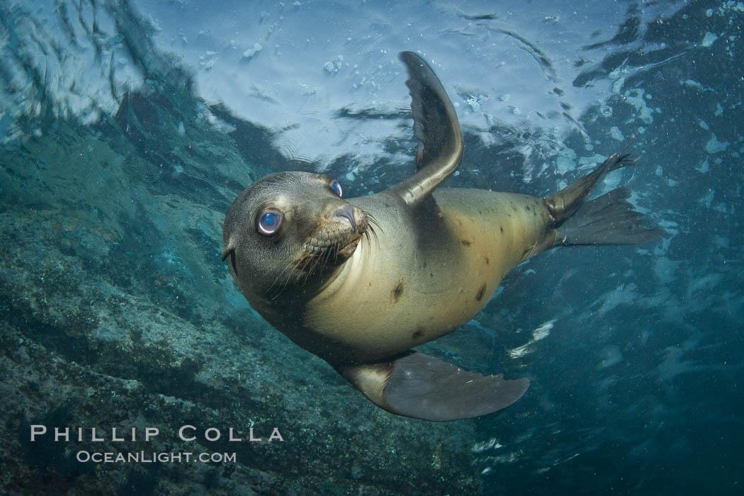 California sea lion underwater. Sea of Cortez, Baja California, Mexico, Zalophus californianus, natural history stock photograph, photo id 27418