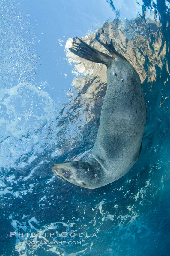 California sea lion underwater. Sea of Cortez, Baja California, Mexico, Zalophus californianus, natural history stock photograph, photo id 27440