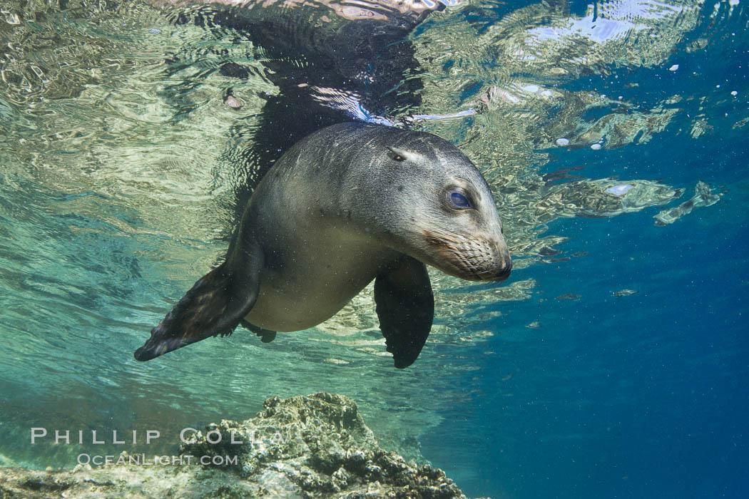 California sea lion underwater. Sea of Cortez, Baja California, Mexico, Zalophus californianus, natural history stock photograph, photo id 27444