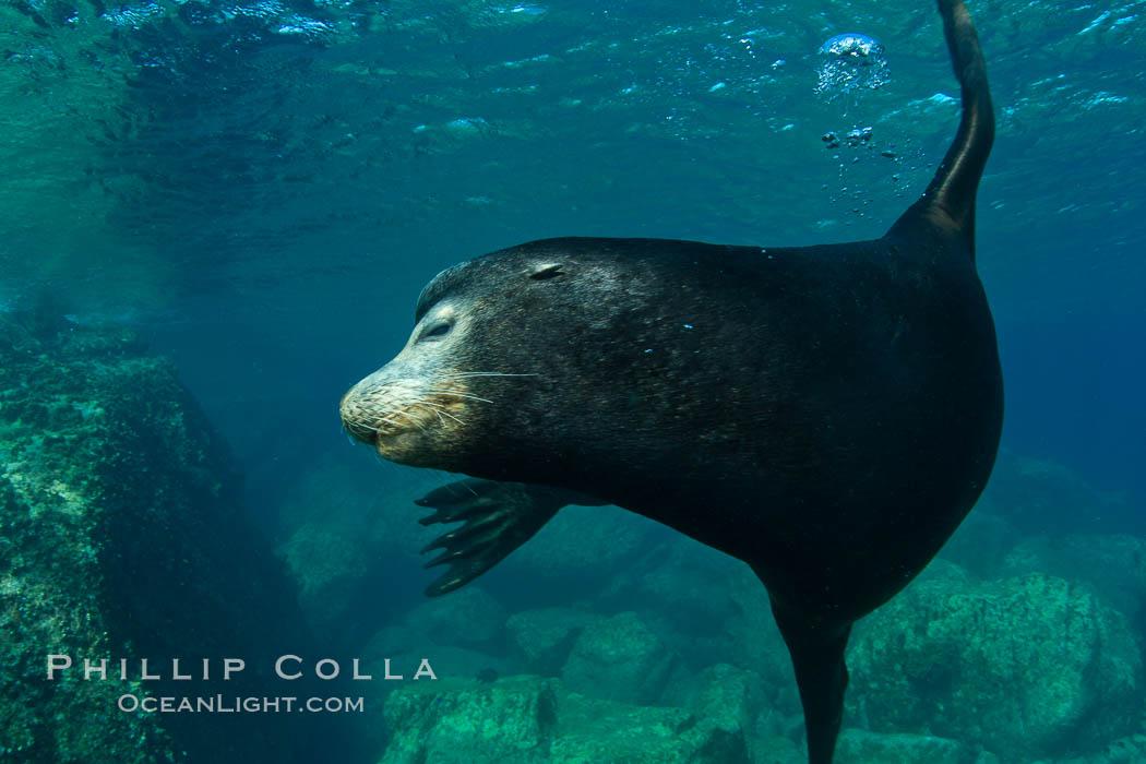 California sea lion underwater. Sea of Cortez, Baja California, Mexico, Zalophus californianus, natural history stock photograph, photo id 27456