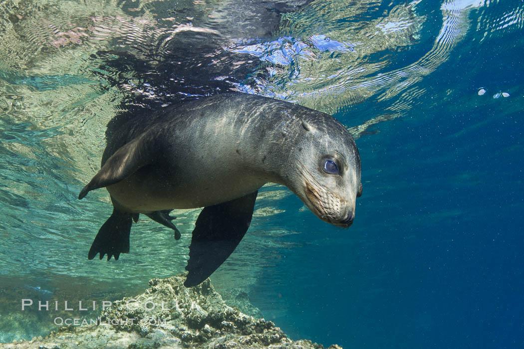 California sea lion underwater. Sea of Cortez, Baja California, Mexico, Zalophus californianus, natural history stock photograph, photo id 27423