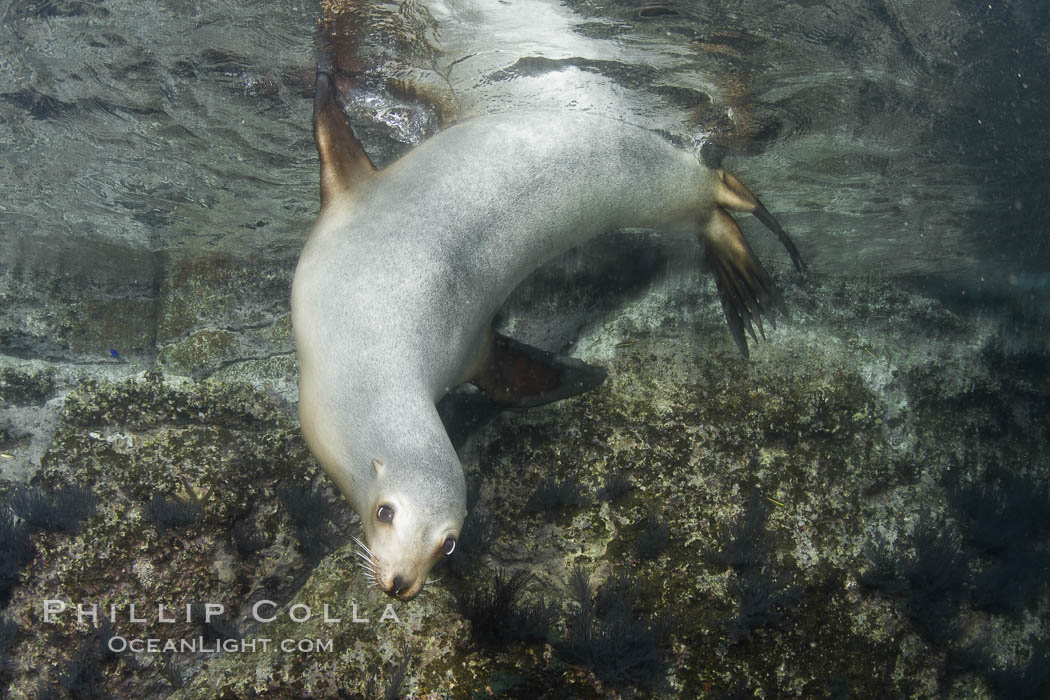 California sea lion underwater. Sea of Cortez, Baja California, Mexico, Zalophus californianus, natural history stock photograph, photo id 27421