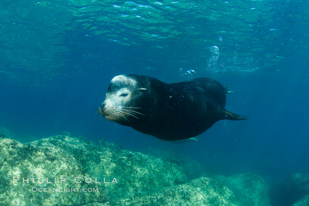 California sea lion, adult male bull, underwater. Sea of Cortez, Baja California, Mexico, Zalophus californianus, natural history stock photograph, photo id 27449
