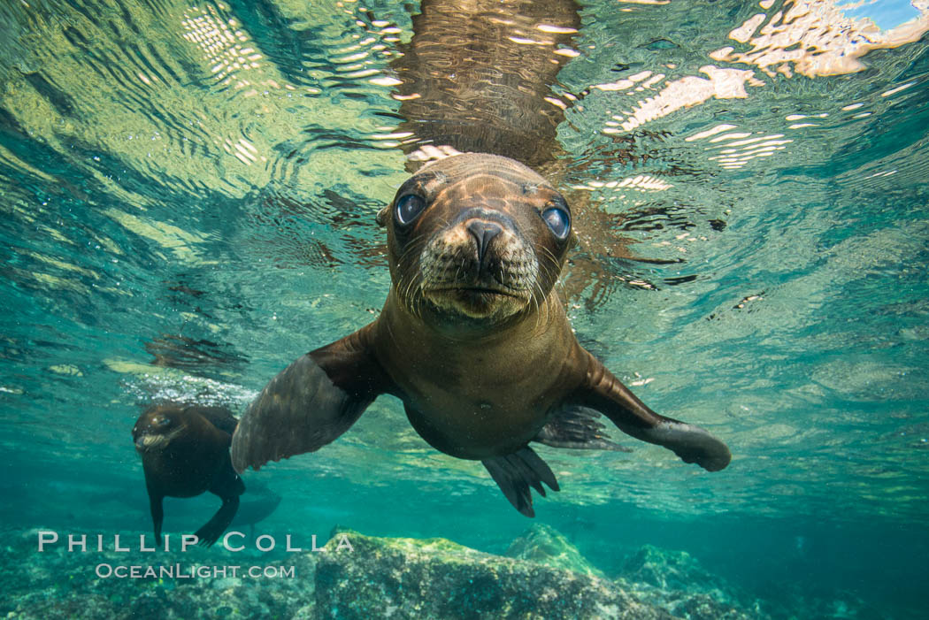 California sea lion underwater, Sea of Cortez, Mexico. Baja California, Zalophus californianus, natural history stock photograph, photo id 31204