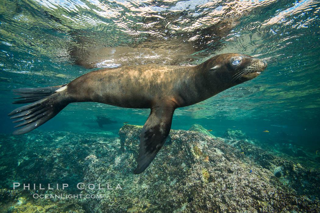 California sea lion underwater, Sea of Cortez, Mexico. Sea of Cortez, Baja California, Mexico, Zalophus californianus, natural history stock photograph, photo id 31232