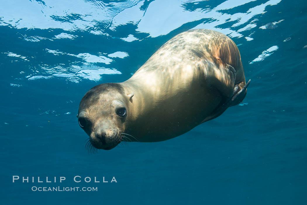 California sea lion underwater, Sea of Cortez, Mexico. Sea of Cortez, Baja California, Mexico, Zalophus californianus, natural history stock photograph, photo id 31244