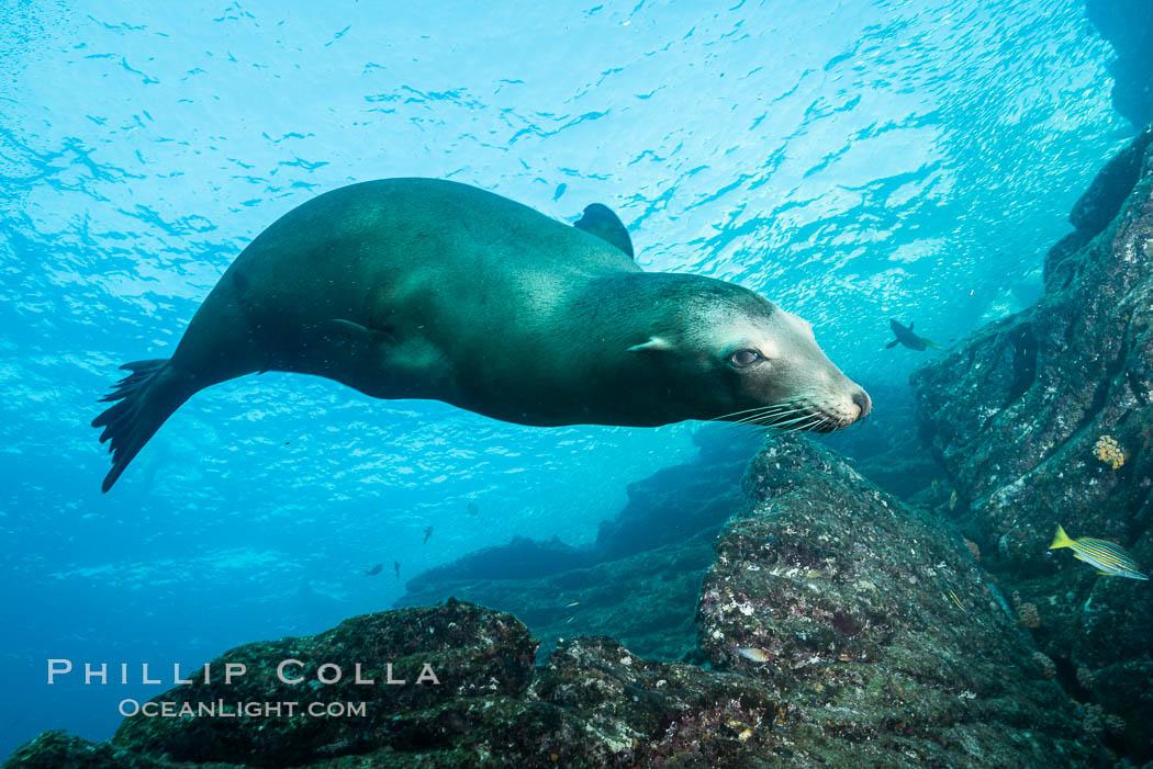 California sea lion underwater, Sea of Cortez, Mexico. Sea of Cortez, Baja California, Mexico, Zalophus californianus, natural history stock photograph, photo id 31296