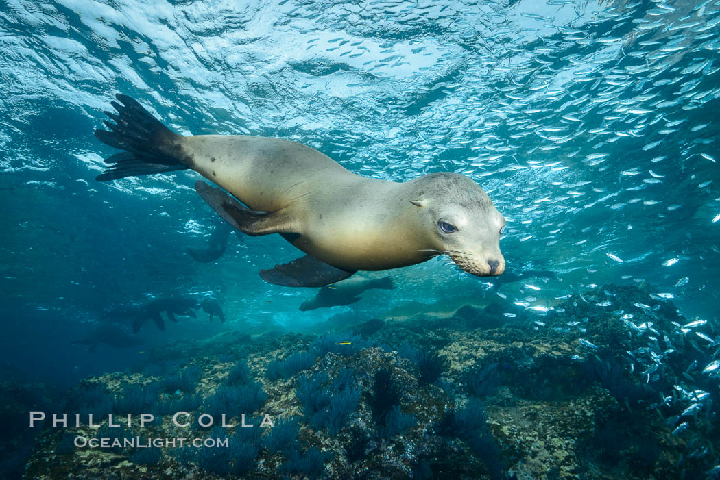 California sea lion underwater, Sea of Cortez, Mexico. Baja California, Zalophus californianus, natural history stock photograph, photo id 31219