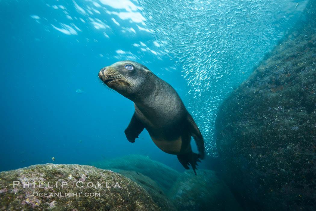 Image 31231, California sea lion underwater, Sea of Cortez, Mexico. Sea of Cortez, Baja California, Mexico, Zalophus californianus
