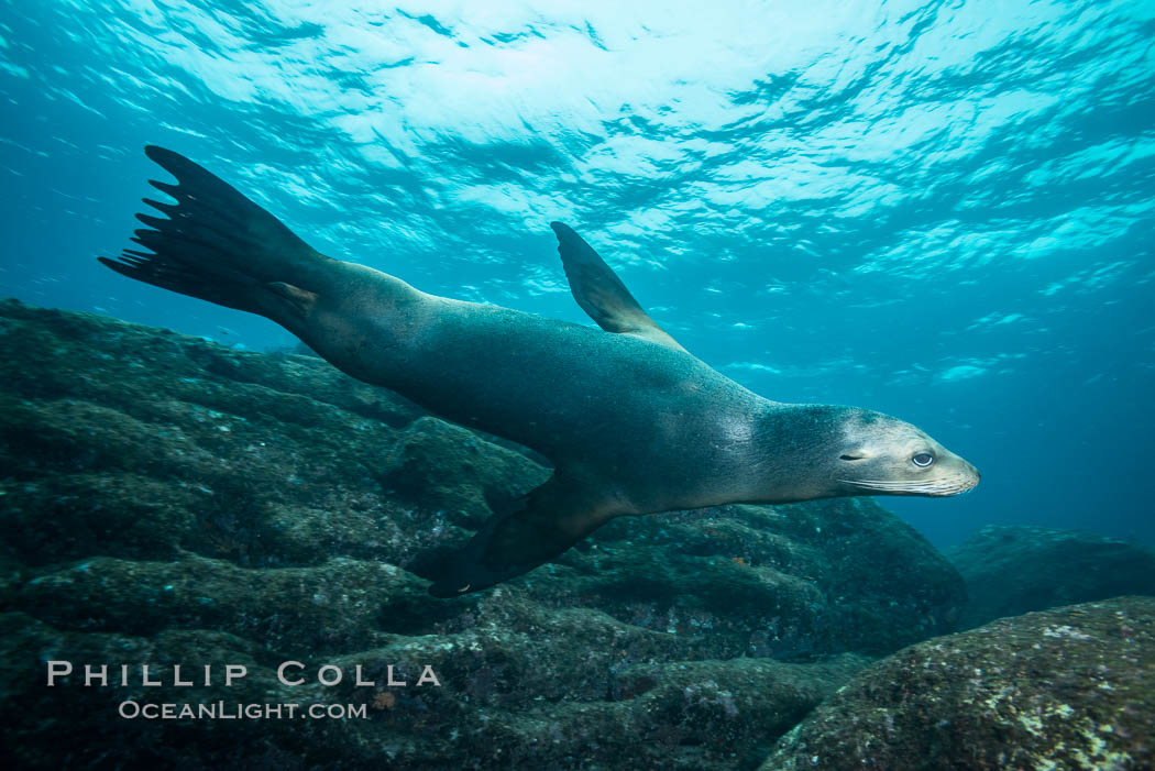 California sea lion underwater, Sea of Cortez, Mexico. Baja California, Zalophus californianus, natural history stock photograph, photo id 31259