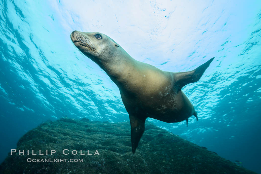 California sea lion underwater, Sea of Cortez, Mexico. Baja California, Zalophus californianus, natural history stock photograph, photo id 31263