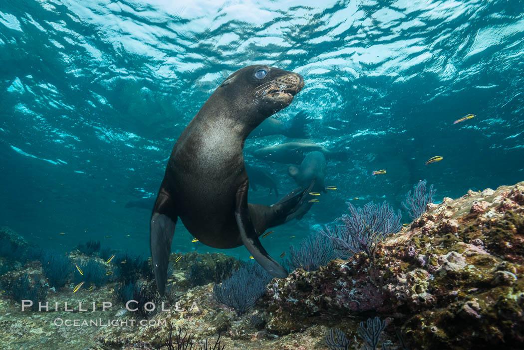 California sea lion underwater, Sea of Cortez, Mexico. Sea of Cortez, Baja California, Mexico, Zalophus californianus, natural history stock photograph, photo id 31221