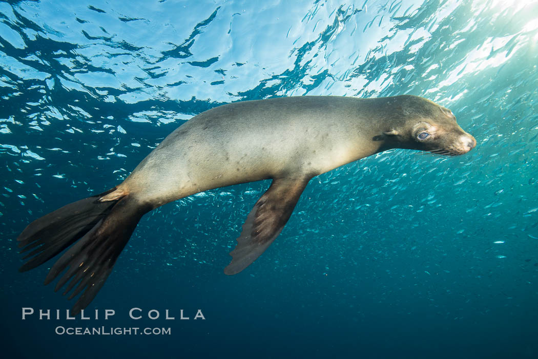 California sea lion underwater, Sea of Cortez, Mexico. Sea of Cortez, Baja California, Mexico, Zalophus californianus, natural history stock photograph, photo id 31225