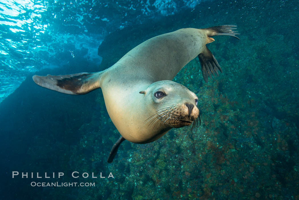 California sea lion underwater, Sea of Cortez, Mexico. Sea of Cortez, Baja California, Mexico, Zalophus californianus, natural history stock photograph, photo id 31233