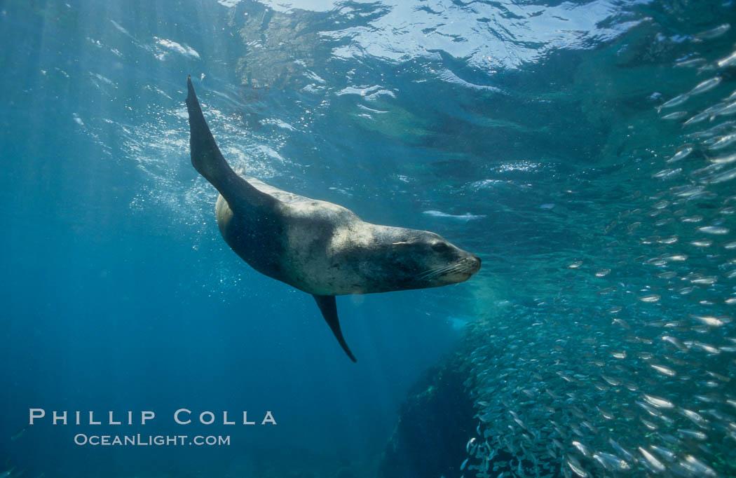California sea lion and baitfish, Los Islotes, Sea of Cortez., Zalophus californianus, natural history stock photograph, photo id 02946