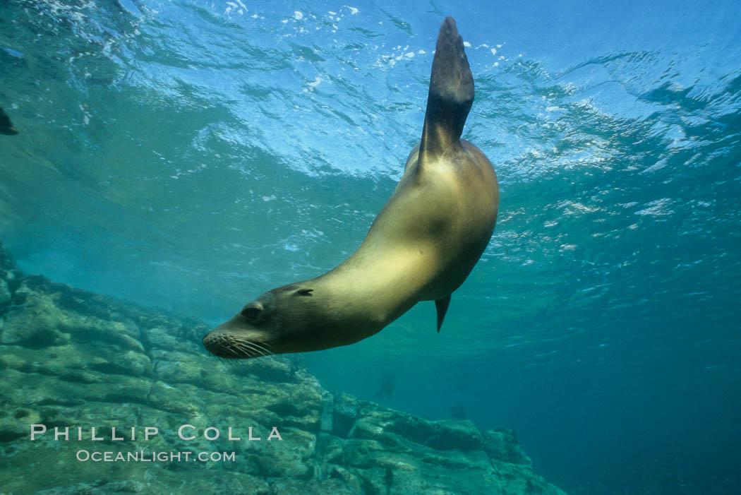 California sea lion, Sea of Cortez., Zalophus californianus, natural history stock photograph, photo id 00620