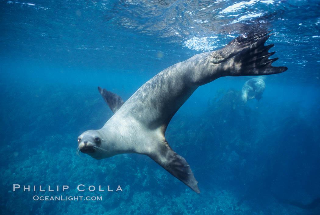 California sea lion, Baja California., Zalophus californianus, natural history stock photograph, photo id 05048