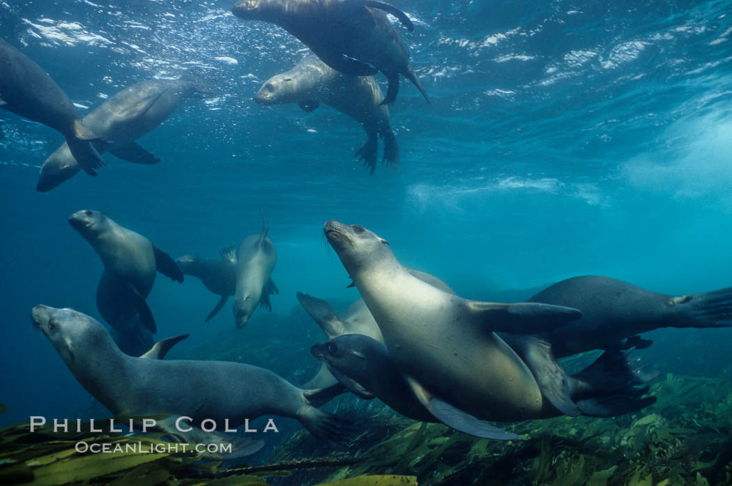 California sea lions swim and socialize over a kelp-covered rocky reef, underwater at San Clemente Island in California's southern Channel Islands. USA, Zalophus californianus, natural history stock photograph, photo id 02158
