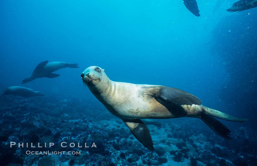 California sea lion, Webster Point rookery. Santa Barbara Island, California, USA, Zalophus californianus, natural history stock photograph, photo id 03804