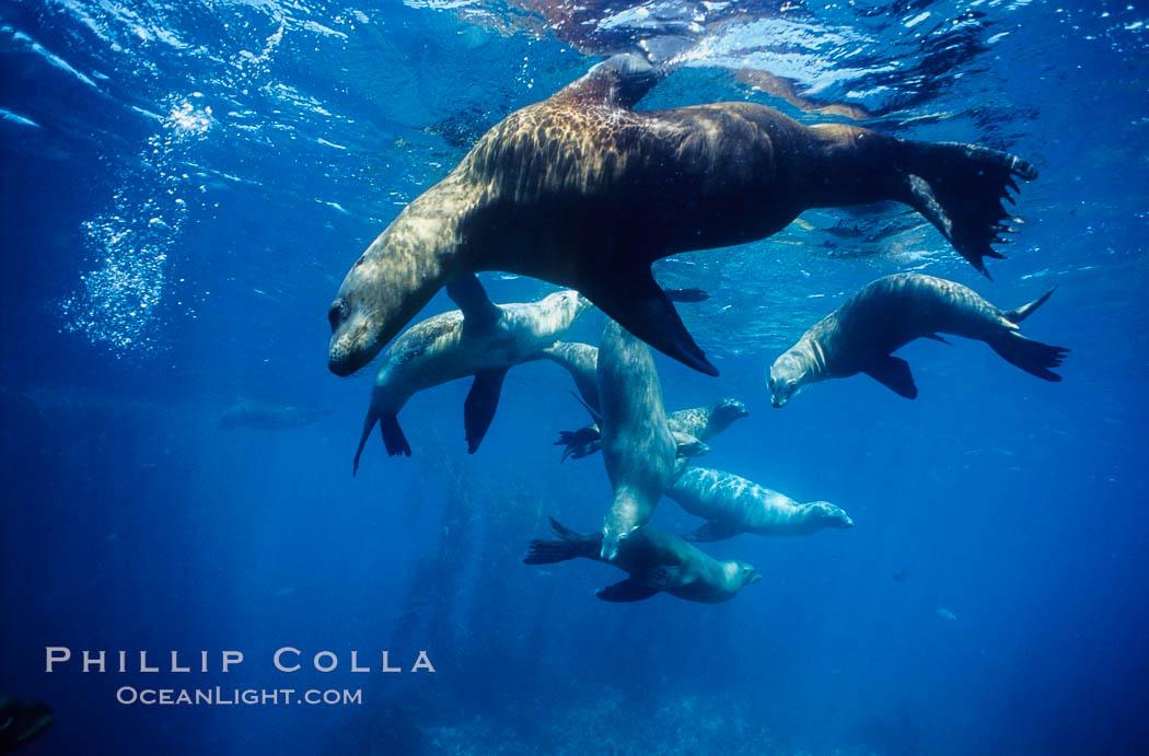 California sea lions, socializing/resting, Webster Point rookery, Santa Barbara Island, Channel Islands National Marine Sanctuary. Santa Barbara Island, California, USA, Zalophus californianus, natural history stock photograph, photo id 06284