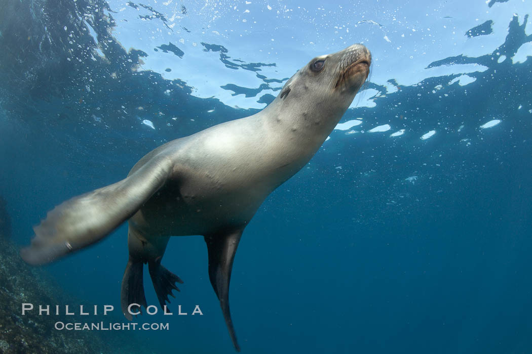 California sea lion, underwater at Santa Barbara Island.  Santa Barbara Island, 38 miles off the coast of southern California, is part of the Channel Islands National Marine Sanctuary and Channel Islands National Park.  It is home to a large population of sea lions. USA, Zalophus californianus, natural history stock photograph, photo id 23440