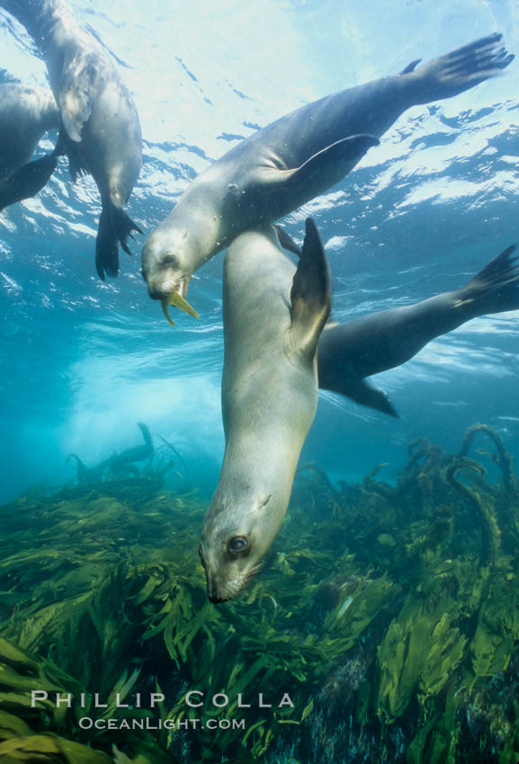 California sea lions swim and socialize over a kelp-covered rocky reef, underwater at San Clemente Island in California's southern Channel Islands. USA, Zalophus californianus, natural history stock photograph, photo id 02159