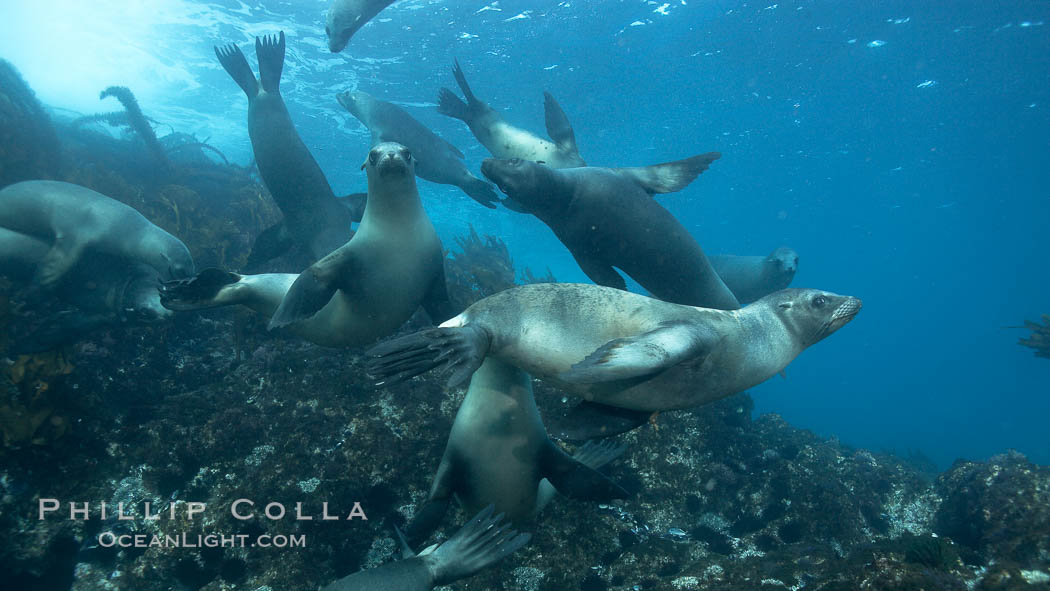 California sea lions, underwater at Santa Barbara Island.  Santa Barbara Island, 38 miles off the coast of southern California, is part of the Channel Islands National Marine Sanctuary and Channel Islands National Park.  It is home to a large population of sea lions. USA, Zalophus californianus, natural history stock photograph, photo id 23519