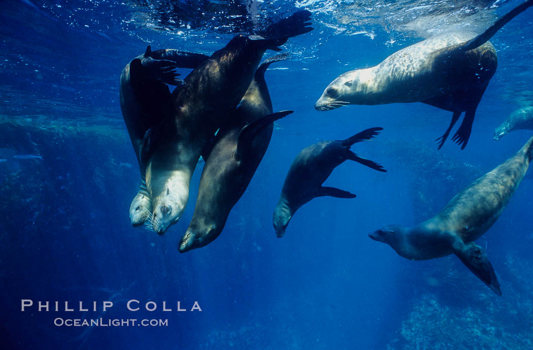 California sea lions, socializing/resting, Webster Point rookery, Santa Barbara Island, Channel Islands National Marine Sanctuary. Santa Barbara Island, California, USA, Zalophus californianus, natural history stock photograph, photo id 06285