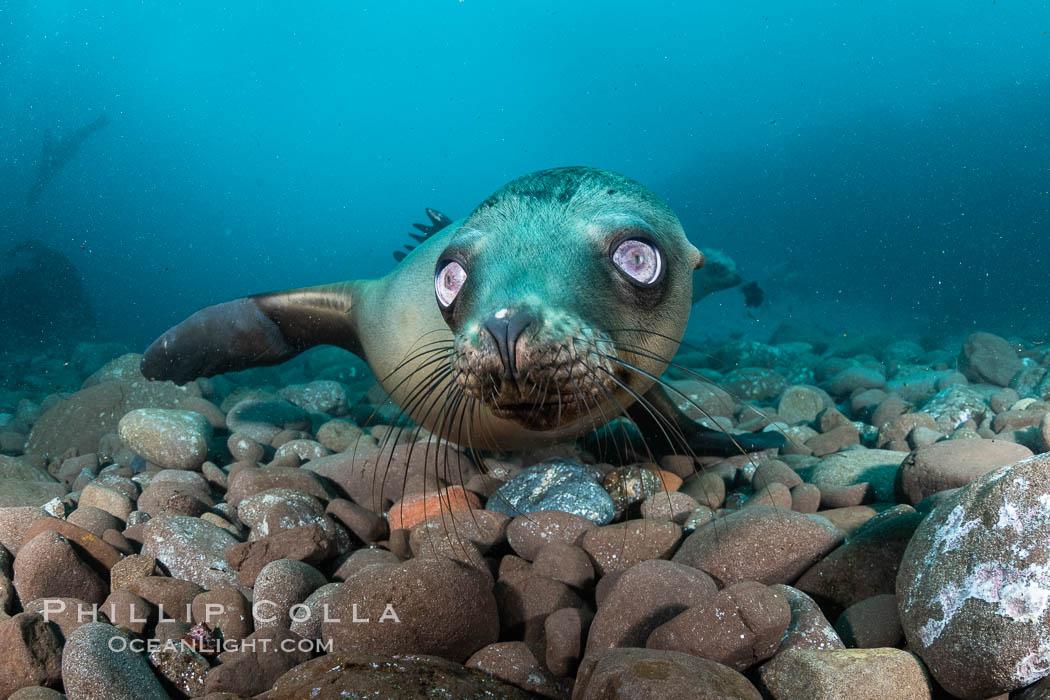 California sea lion with strange eyes, Coronados Islands, Baja California, Mexico. Coronado Islands (Islas Coronado), Baja California, Mexico, Zalophus californianus, natural history stock photograph, photo id 35052