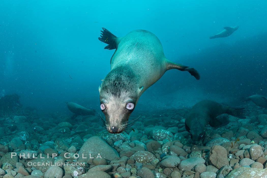 California sea lion with strange eyes, Coronados Islands, Baja California, Mexico. Coronado Islands (Islas Coronado), Baja California, Mexico, Zalophus californianus, natural history stock photograph, photo id 35055