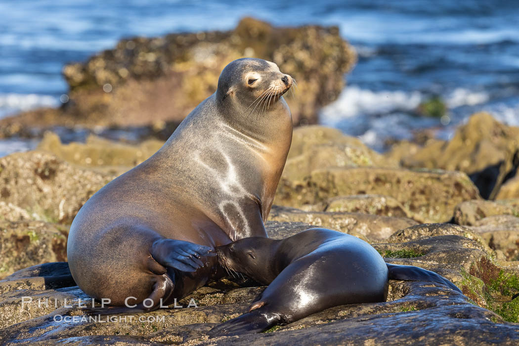 California Sea Lions, Mother nursing her pup. La Jolla, USA, Zalophus californianus, natural history stock photograph, photo id 36861