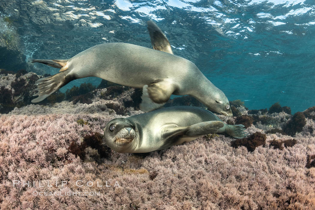 California Sea Lions Underwater, Coronado Islands, Baja California, Mexico. Coronado Islands (Islas Coronado), Zalophus californianus, natural history stock photograph, photo id 36473