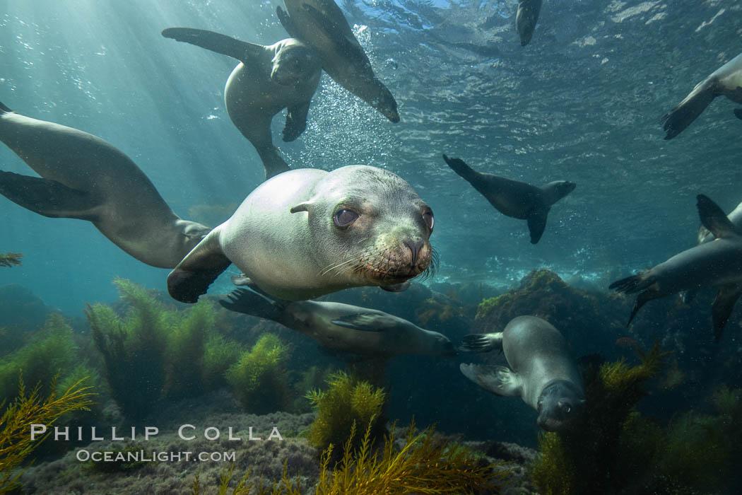California sea lions underwater, Coronados Islands, Baja California, Mexico. Coronado Islands (Islas Coronado), Coronado Islands, Baja California, Mexico, Zalophus californianus, natural history stock photograph, photo id 34579