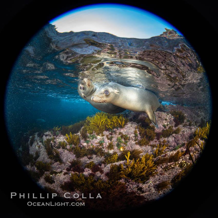 California sea lions underwater, Coronados Islands, Baja California, Mexico. Coronado Islands (Islas Coronado), Coronado Islands, Baja California, Mexico, Zalophus californianus, natural history stock photograph, photo id 34581