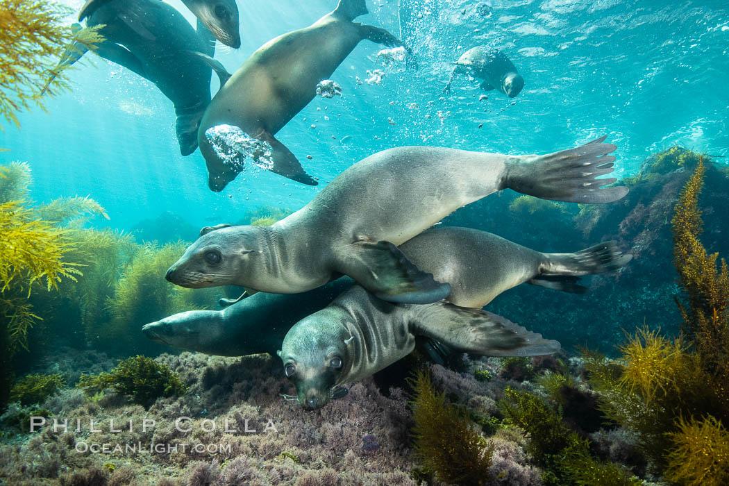 California sea lions underwater, Coronados Islands, Baja California, Mexico. Coronado Islands (Islas Coronado), Coronado Islands, Baja California, Mexico, Zalophus californianus, natural history stock photograph, photo id 34597